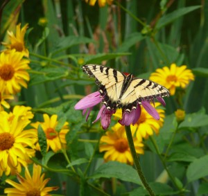 Butterflies Love Our Gardens, Too